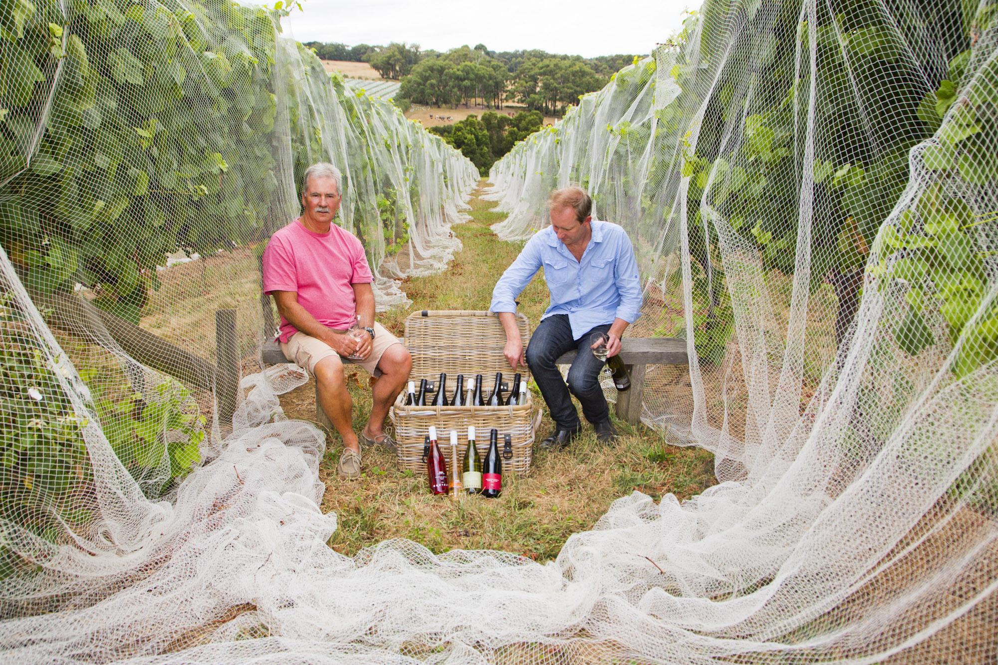 Winzer Simon Black und mit einer Kiste Weine im Weinberg, Trauben hinter dem Netz zum Schutz vor Vögeln, Montalto, Mornington, Mornington Peninsula, Australien