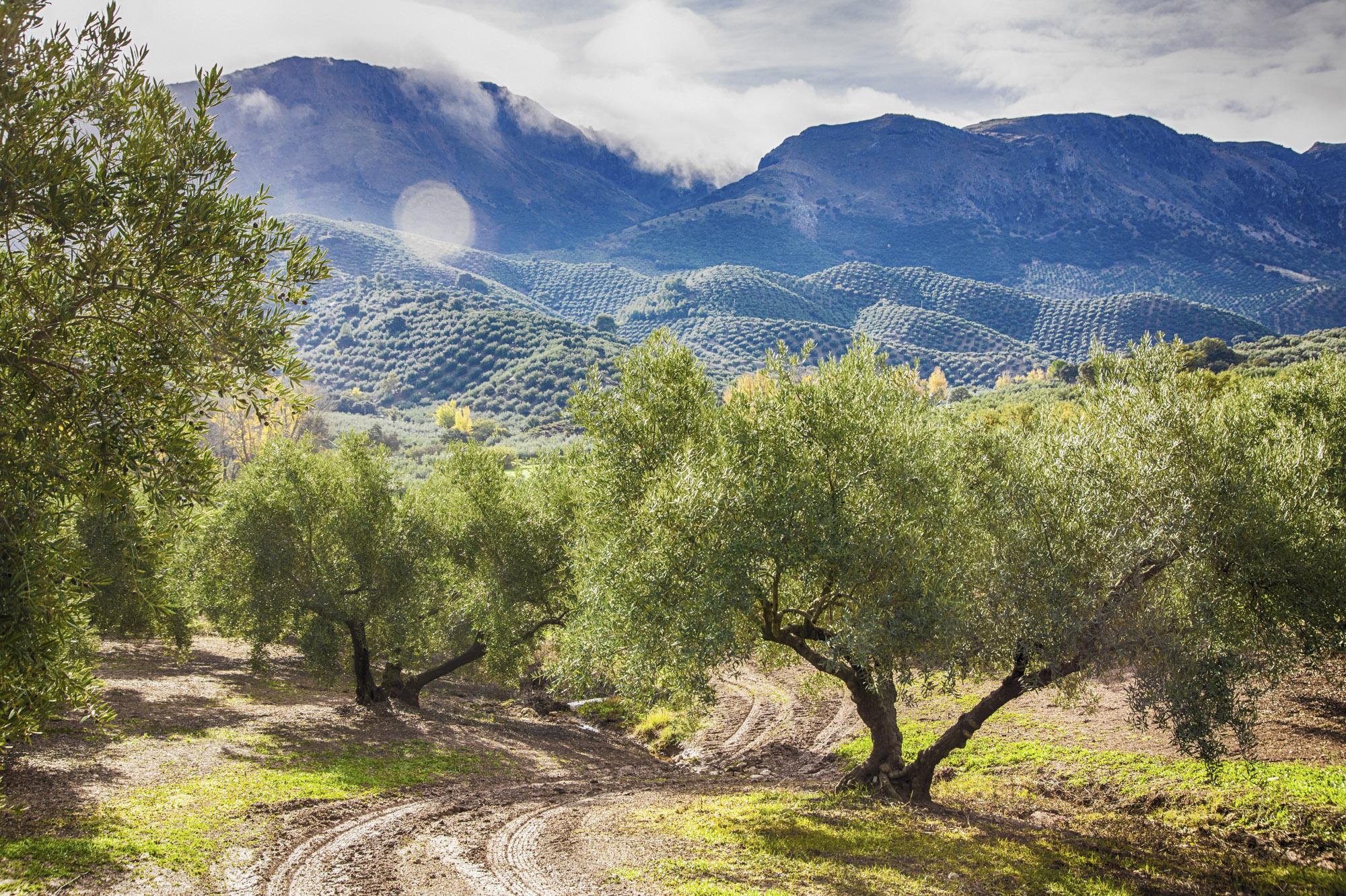 Spanien Andalusien, Provinz Cordoba, Priego de Cordoba. Olivenhain