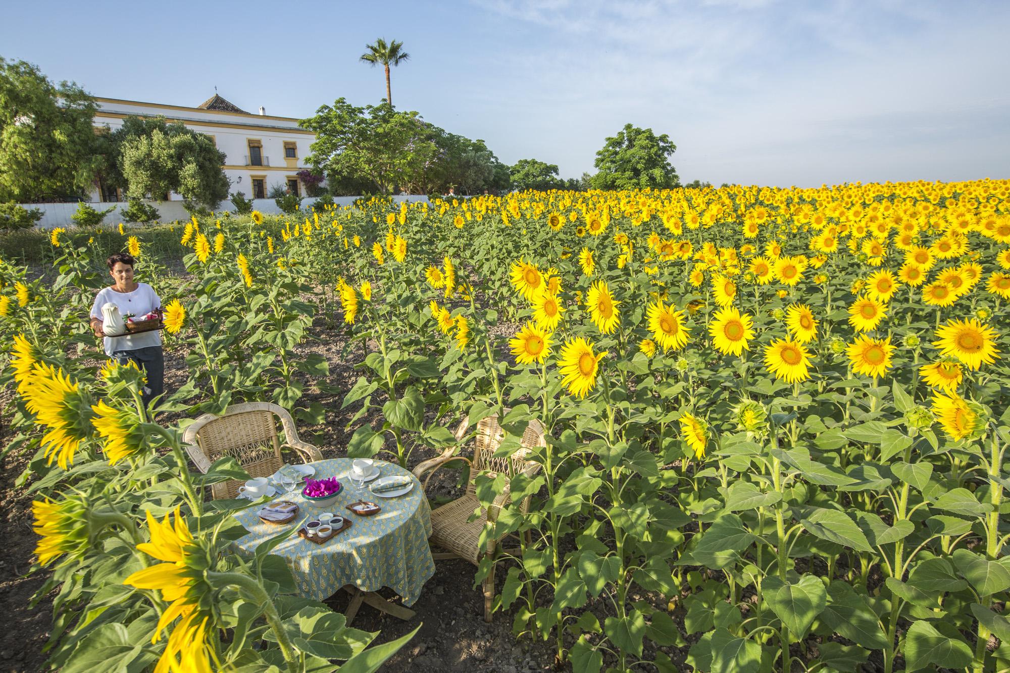 Spanien, Andalusien, Provinz Sevilla, Las Cabezas de San Juan, Hacienda San Rafael, Boutique Landhotel, Tom und Kucky beim Frühstück zwischen Sonnenblumen