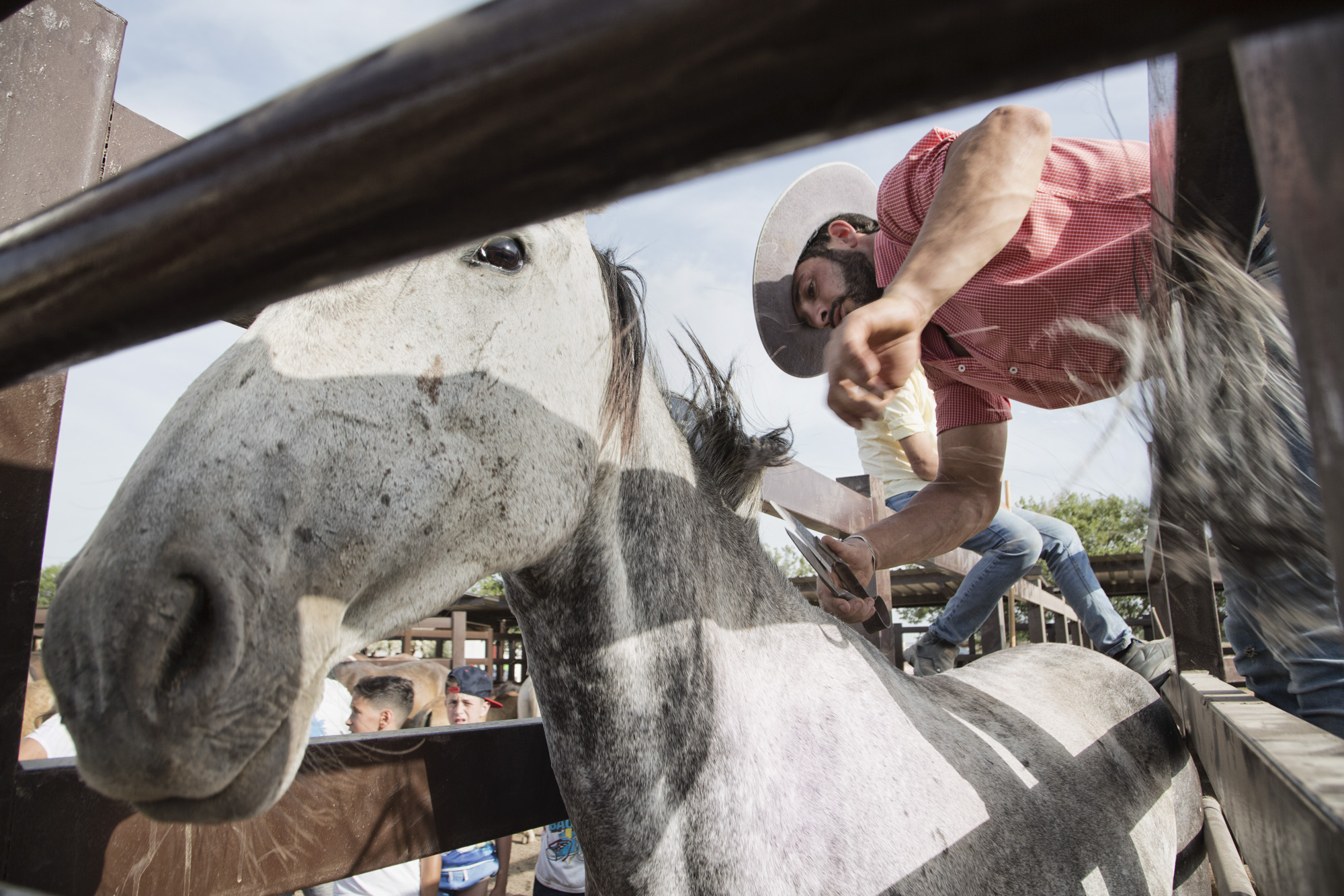 Spanien, Andalusien, Provinz Huelva, Almonte. Saca de Yeguas. Einmal im Jahr am 26. Juni werden die Stuten und Pfohlen  aus dem Doñana Nationalpark nach Almonte getrieben. Die Pferde der Marismeño Rasse nahm schon Kolumbus mit nach Amerika. Sie sind die Vorfahren der Mustangs.