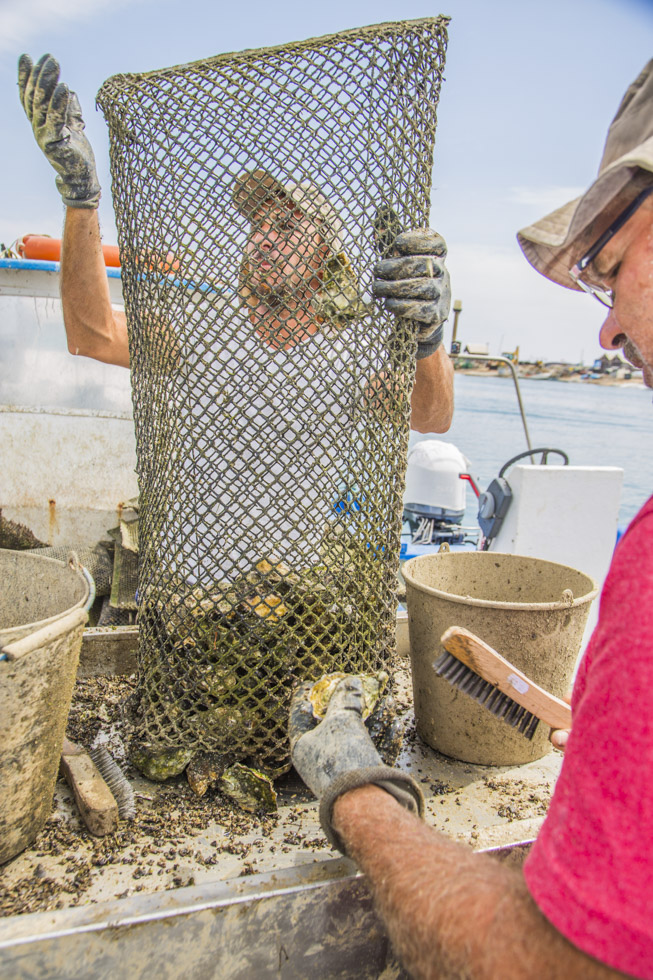 Portugal, Algarve, Olhão, Sandbank Insel Ilha da Culatra im Naturpark Ria Formosa, Austern Fischer sortieren ihren Fang