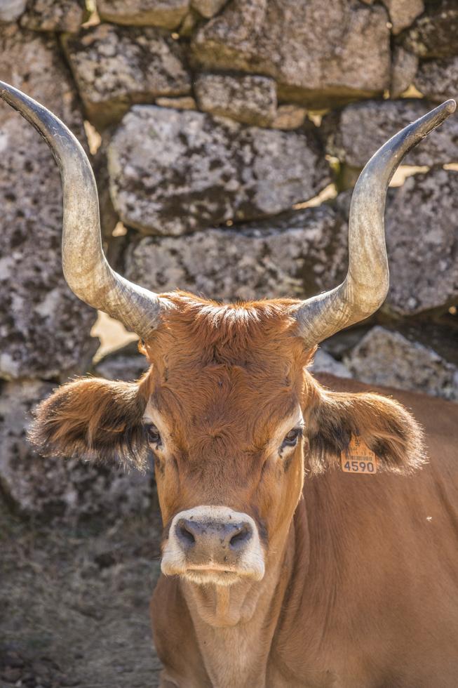 Portugal, Nord-Portugal, Parque Nacional da Peneda Gerês, Nationalpark, Serra do Soajo, Adrão, wild lebende Kuhe vor der Einsidelei Nossa Senhora de la Paz, Cachena Rassekühe