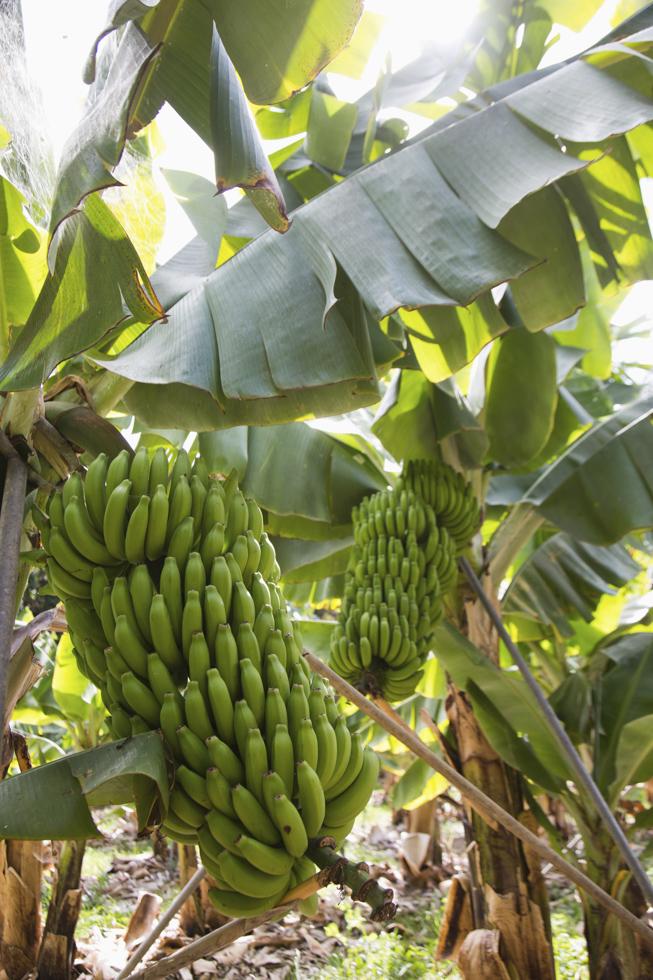 Spanien, Kanarische Inseln, La Gomera, Biohof & Hotel El Cabrito. Das Landhotel ist nur per Boot oder zu Fuß erreichbar. Bananen Plantage