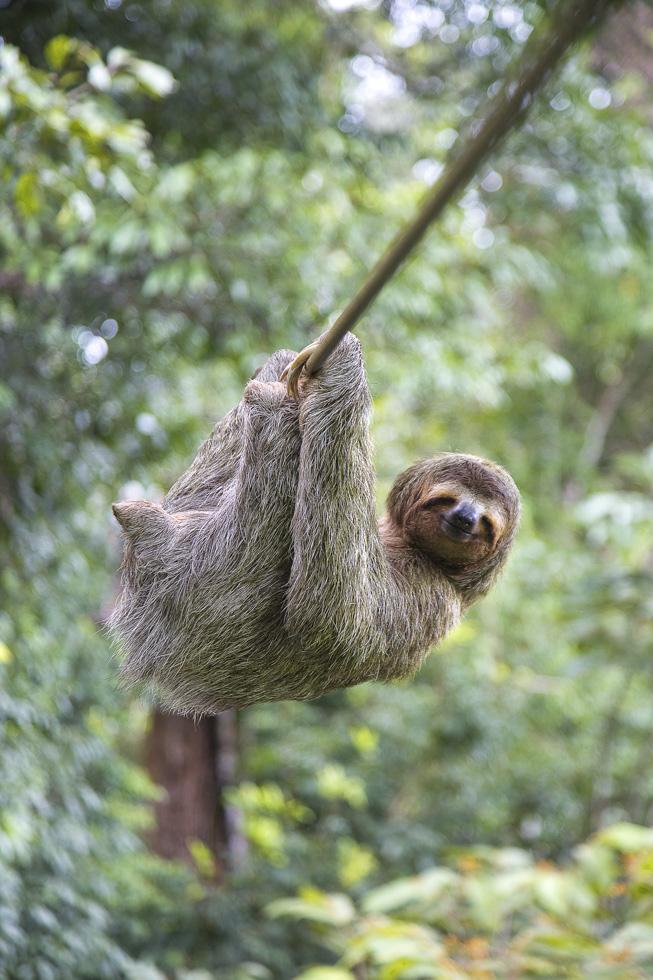 Costa Rica, Peninsula de Osa, Osa Peninsula, Puerto Jimenez, Canopy Tour, Faultier hängt an der Seilrutsche